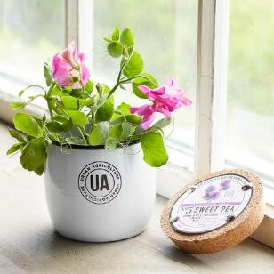 GROW YOUR OWN SWEET PEA